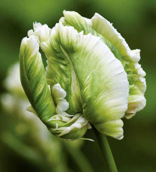 Tulip 'Super Parrot'