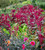 Amaranthus tricolor 'Red Army'
