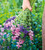 Salvia viridis 'Pink'