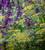 Ridolfia segetum