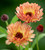 Calendula officinalis 'Sunset Buff'