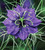Nigella damascena 'Deep Blue'