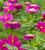 Zinnia elegans 'Giant Purple Prince'