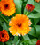Calendula officinalis 'Touch of Red Mix'