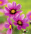 Cosmos bipinnatus 'Versailles Tetra'