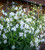 Nicotiana alata 'Grandiflora'