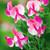 Sweet Pea 'Cupid Pink'