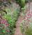Lychnis coronaria (Rose campion)