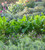 French Sorrel (Rumex scutatus)