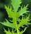 Autumn and Winter Salad Leaf Mix