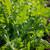 Salad Rocket 'Serrata'