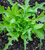 Asolo Lettuce Mix