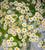 Tanacetum parthenium (Feverfew)