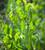 Pea 'Hurst Green Shaft'