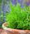 Samphire (Salicornia europaea)