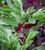 Broad Bean 'Crimson-flowered'