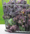 Broccoli 'Cardinal' (Purple Sprouting)