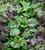 Spinach 'Rubino' F1