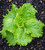 Lettuce 'Batavia Green'