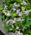 Orychophragmus violaceus (Chinese Violet Cress)