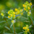 Rhinanthus minor (Yellow Rattle)