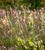 Ragged Robin (Lychnis flos-cuculi)