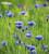 Centaurea cyanus (Wild Cornflower)