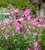 Silene dioica (Red Campion)