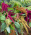 Amaranthus Collection