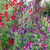Towering Teepees Sweet Pea Collection