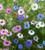 Nigella damascena 'Persian Jewels Mix'