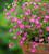 Gypsophila muralis 'Gypsy Deep Rose'