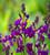 Linaria maroccana 'Licilia Violet'