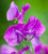 Stained Glass Window Sweet Pea Collection