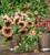 Helianthus annuus 'ProCut Plum' F1