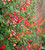 Eccremocarpus scaber (Chilean Glory Flower)