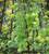 Cardiospermum halicacabum ('Love in a Puff')