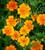 Tagetes tenuifolia 'Tangerine Gem'