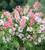 Antirrhinum majus 'Chantilly White' F1