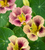 Nasturtium 'Ladybird Rose' (Tropaeolum minus)