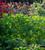 Amaranthus tricolor 'Green Giant'