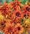 Rudbeckia x hirta hybrida 'Cherokee Sunset'