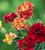 Tagetes patula 'Strawberry Blonde'