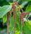 Amaranthus caudatus 'Coral Fountain'