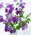 Phlox drummondii grandiflora 'Sugar Stars'