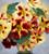 Nasturtium 'Bloody Mary' (Tropaeolum minus)