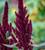 Amaranthus hypochondriacus 'Pygmy Torch'
