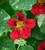 Nasturtium 'Red Troika' (Tropaeolum minus)