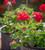 Pelargonium x hortorum 'Black Velvet Violet' F1 (Zonal)