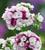 Dianthus barbatus 'Sweet Pink Magic' F1
